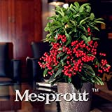 Seeds Shopp Rich Ardisia Mamillata Root Potted Indoor Plants Flower Ornamental fruit plants Ardisia crenata Flower Seeds 50PCS