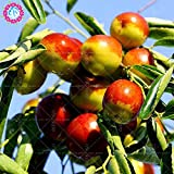 Hot Selling 10pcs/lot Big Chinese Winter Jujube Seeds Honey Sweet Dates Seeds Fruit Tree Bonsai Plant DIY Home Garden sementes