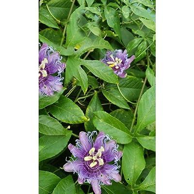 10 Passiflora Edulis VAR Flavicarpa Yellow Passion Fruit Flower Seeds #SRP99 : Garden & Outdoor