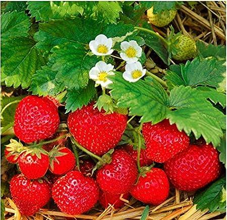 RARE «Delicious Woodland Strawberry « Fragaria vesca 2 plants as described !