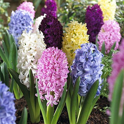 Easter Joy Mix Hyacinth 6 Bulbs - SUPER VALUE - Fragrant - 15/16 cm Bulbs
