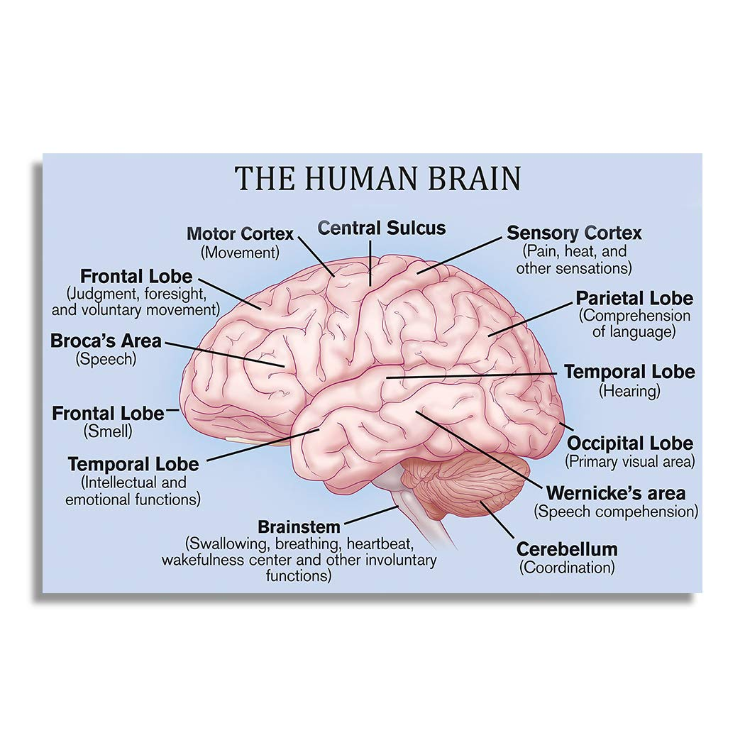 Nii The Human Brain Basic Parts And Functions Education Poster And