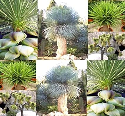 Amazon.com : New Yucca Species Mix 15 Seeds - Cactus ... on names of large indoor houseplants, names of common herbs, types of succulent houseplants, names of common trees, names of indoor houseplants safe, common poisonous houseplants, names of tall succulents, names of plants, palm trees as houseplants, names of common flowers, easy houseplants, best houseplants, names of common shrubs, plant houseplants,