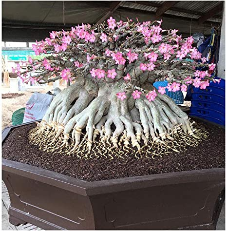 ❀⊱ ADENIUM ARABICUM THAI SOCOTRANUM CAUDEX BONSAI HOUSE PLANT SEEDS Ƹ̵̡Ӝ̵̨̄Ʒ✿S