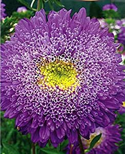 Purple Giant Aster Seeds Princess Veronica Annual Cutting Flowers