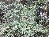 1 Rhizomes Root of Pseudosasa Japonica Arrow Bamboo - 3 Feet