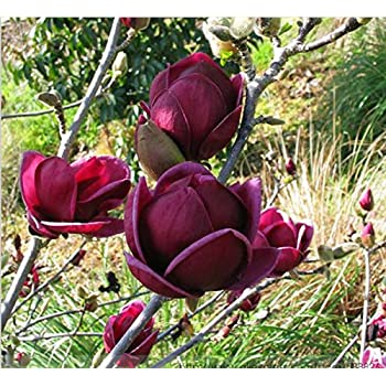 Amazoncom Mrseeds Rare Genie Genie Crimson Yulan Magnolia Tree