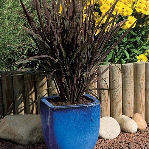 ~ORNAMENTAL RICE BLACK MADRAS 25 Seeds GRASS w/ Purple Streaks Rice Grass