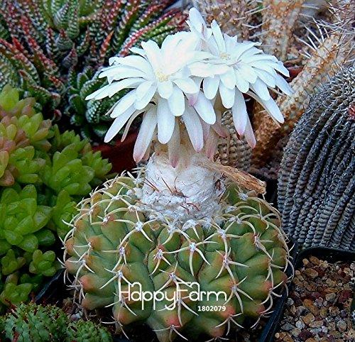 Time-Limit!!Cactus Flowers 100pcs Cactus plant seed Rare plant seeds Foliage magical garden & home Semillas Flora,#7JSN1C