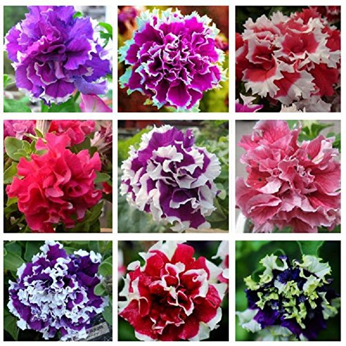 Bornbayb Mixture Colors Petunia Hybrida Seeds Flower Seeds for Garden Plating(100 Pcs and 200 Pcs) ()