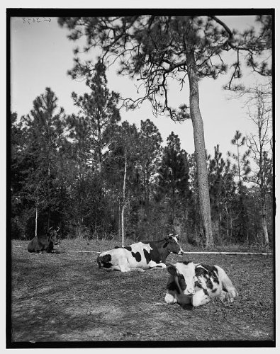 Photo: Welcome shade,cows,cattle study,Mobile,Alabama,AL,Detroit Publishing - Al Shades Mobile