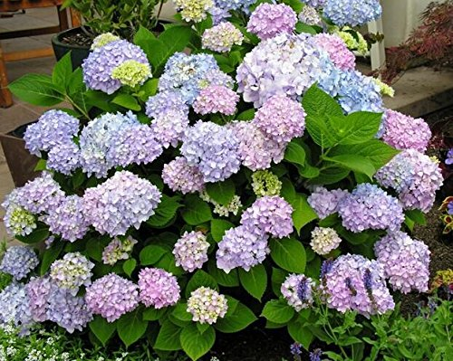 Promotion! Hot sale Hydrangea 300PCS Mixed Hydrangea Seeds Flowers Garden Plant Bonsai Viburnum macrocephalum Fort SVI