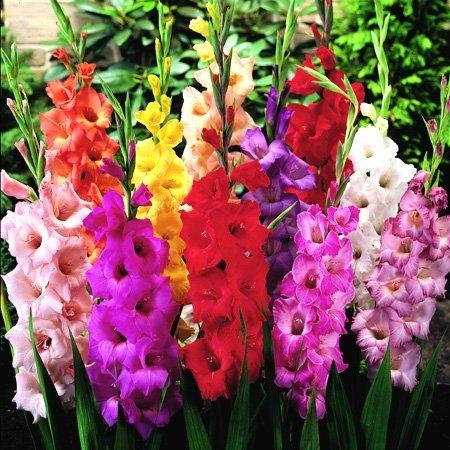 Mixed Gladiolus Flower Bulbs - 50 Bulbs Assorted Colors Gladiolus Bulbs for (Mixed Colors Flower Bulbs)