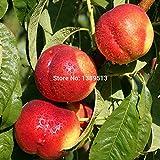 10pcs Nectarine Peach seeds Fresh Fruit Seeds - Prunus persica Sweet Honey Tree seeds free shopping