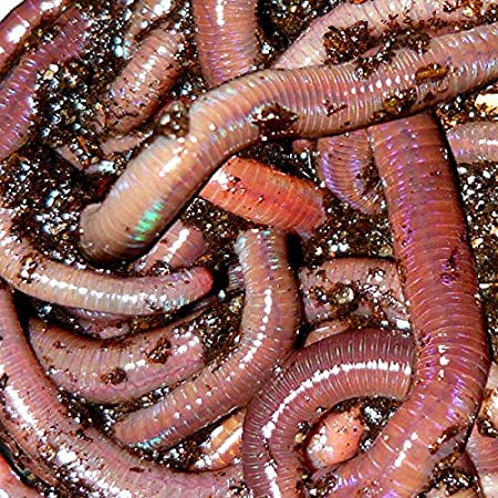 Amazon Com African Nightcrawlers 1 Lb Live Worms Garden Outdoor