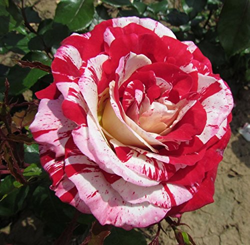 Rock and ROLL Strong Rose Fragrance Bareroot Hybrid Tea Garden Rose Bush Great Health Stunning Red /& White Striped Flowers