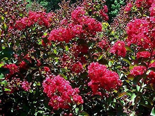 Tonto Fuschia Red Crape Myrtle Tree - Live Plant - Full Gallon Pot