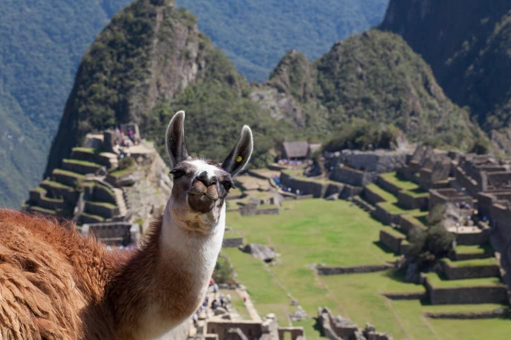 A Friendly Face on Top of Machu Picchu Photo Photograph Cool Wall Decor Art Print Poster 12x18