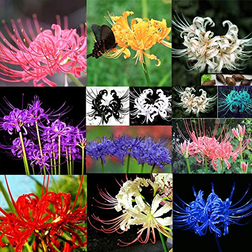 XKSIKjian's Garden 5Pcs Bulbs Lycoris Radiata Spider Lily Bulb Seeds Ornamental Plant Home Yard Office Decor Non-GMO Seeds Open Pollinated Seeds for Planting