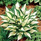 Loyalist Hosta – Quart Potted – Healthy, Heavy, Established Perennial – 1 Plant by Growers Solution