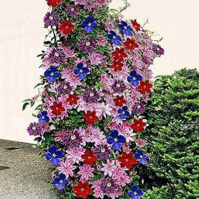 MURIEO jardín- Plantas trepadoras Clematis de 50 piezas, semillas ...