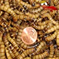 500 Live Superworms Organically Grown By Gimminy Crickets & Worms by Gimminy Crickets and Worms