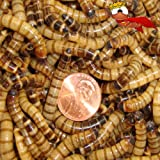500 Live Superworms Organically Grown By Bassett's Cricket Ranch