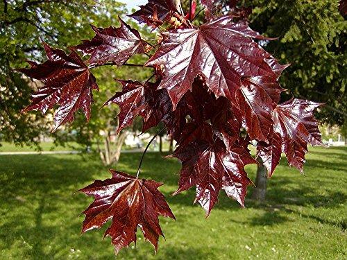Acer platanoides Crimson King RED LEAVES Seeds!