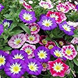 Convolvulus tricolor Mix Flower Seeds from Ukraine