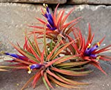 100 Pack Airplant Ionatha Wholesale Tillandsias #TN01
