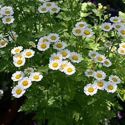 Feverfew Seeds (Tanacetum parthenium) 50+ Rare Organic Medicinal Herb Seeds : Garden & Outdoor