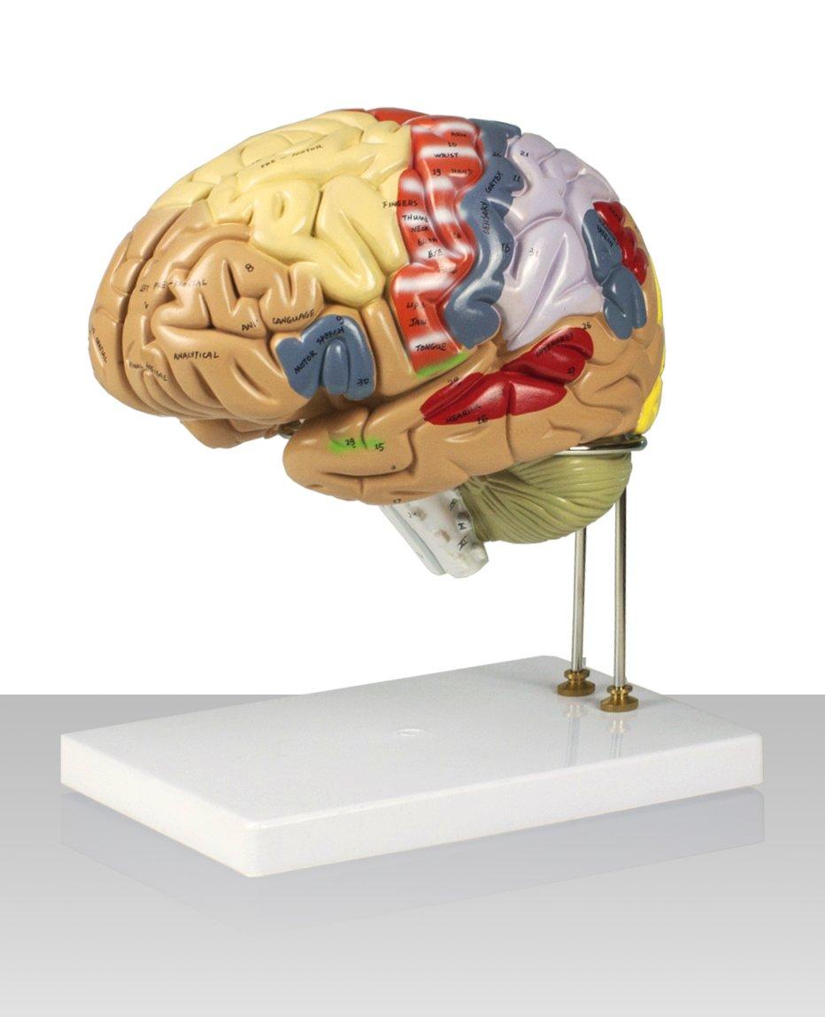 Vision Scientific VAB400 Color-Coded Human Regional Brain - 4 Parts