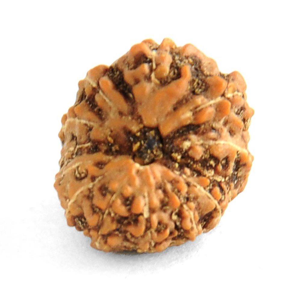 skyjewels Natural 13 Mukhi Java Rudraksha Certified Bead