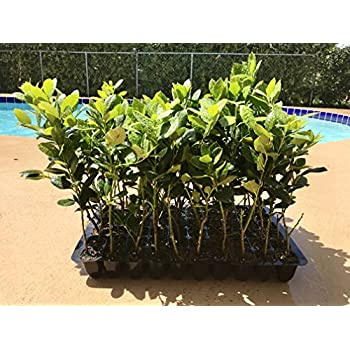 Amazon com : Nellie R  Stevens Holly Qty 60 Live Plants