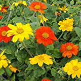 Outsidepride Mexican Sunflower Seed Mix - 500 Seeds