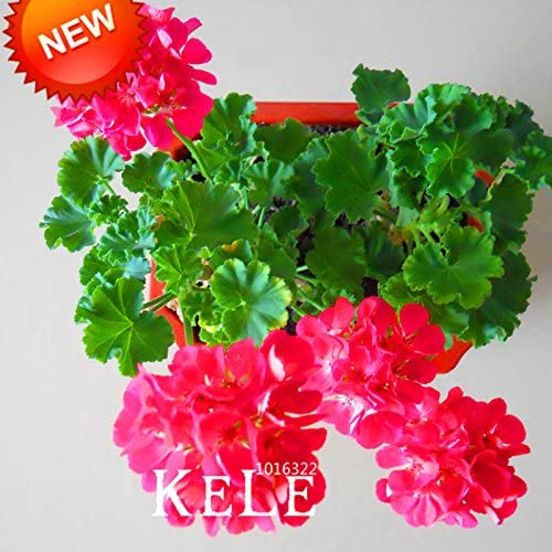 semillas de flores de hibisco Mediterráneo americano fuerte jardín de DIY o macetas con plantas fáciles de cultivar la flor 50PCS: Amazon.es: Jardín