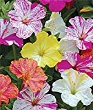 50 Marbles Mix Four O'clock Seeds (Mirabilis jalapa) Upc 643451295597