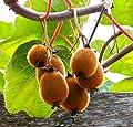"Hardy Fuzzy Kiwi 2 Plants - Matua/Saanichton - Actinidia - Large Fruit - 4"" Pot"