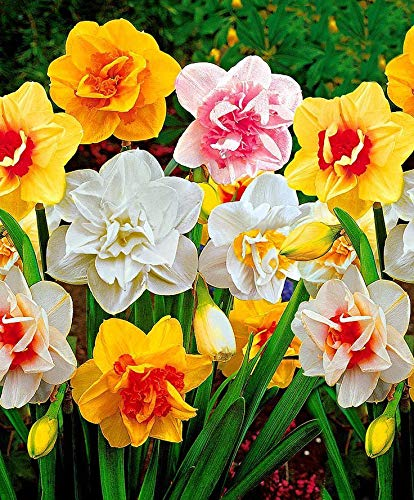 10 Double Daffodil Mix Narcissus Quality Blooming Size Bulbs 12-14 cm by thecountrygardenshop