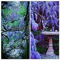 10 semillas de glicina al aire libre Semillas de plantas púrpura de las glicinias de flores para el jardín de DIY flor…