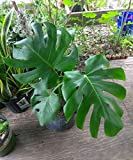 Monstera Deliciosa ❤❤ Split Leaf Philodonderon ❤❤ Beautiful ❤❤Ships Bare Root