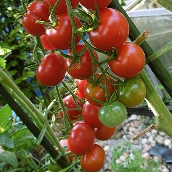 10 Samen Rotes Birnchen Tomate außergewöhnliche Fruchtform guter Ertrag