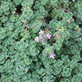 "Woolly Thyme - Size: 3.5"" Pot - Live Potted Plants - Thymus pseudolanuginosus"