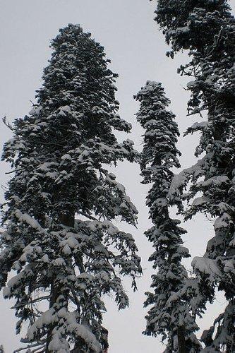 100 fresh Seeds -Nordmann fir- -Abies nordmanniana- **Most Popular Christmas ()