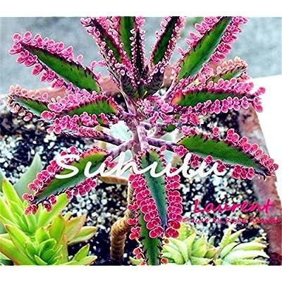Hot Sale 100 Pcs Bonsai Red Longevity Flower Seeds Kalanchoe Novel Plants For Diy Home Garden Mini Succulent Pots Plantas Raras 1 : Garden & Outdoor