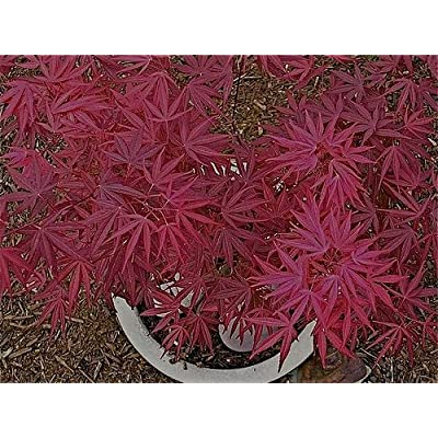 Beni Ubi Gohon Japanese Maple 1 - Year Plant : Garden & Outdoor