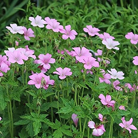 Amazon 1 well rooted plant of perennial geranium cranesbill 1 well rooted plant of perennial geranium cranesbill wargraves pink masses of mightylinksfo