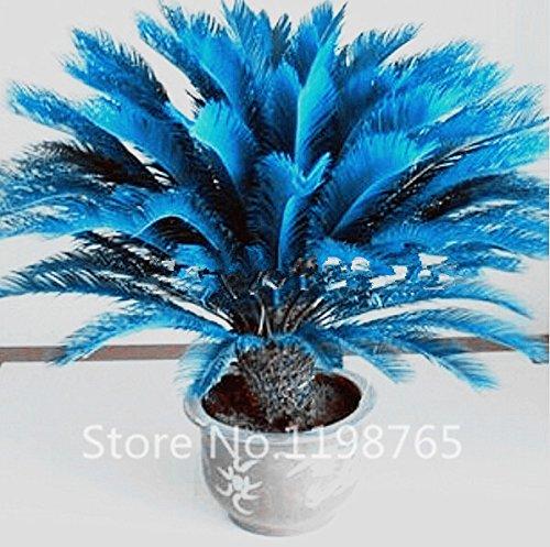 Sago Palm Bonsai Tree (100pcs/bag blue Cycas seeds, Sago Palm Tree seeds.bonsai flower seeds,the budding rate 97% rare potted plant for home garden)