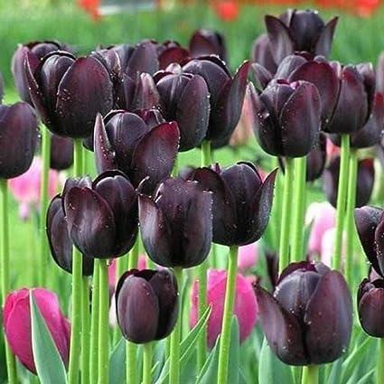 Amazon Com Ladiy New Bonsai Perennial Plant Tulip Seeds