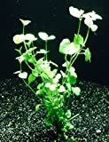 Mint Charlie (Clinopodium brownei) by Aquarium Plants Galore